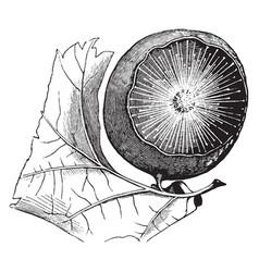 Oak apple gall vintage vector