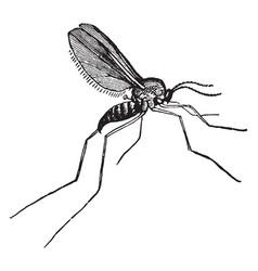 Gall gnat vintage vector