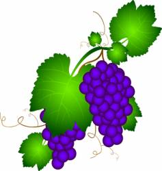 grapevine illustration vector image