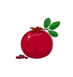 Pomegranate Isolated on White vector image