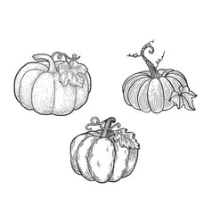 Pumpkin set line art sketch vector