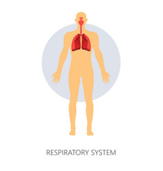 Respiratory system normal breathing lungs and vector