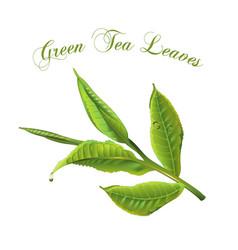 Green tea leaves vector