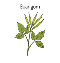 Guar gum cyamopsis tetragonoloba or cluster bean vector