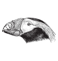 Tufted puffin head vintage vector