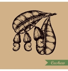 Cashew branch with leaves and nuts Engraving vector image