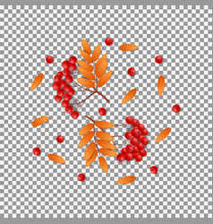 Autumn rowan isolated on transparent backdrop vector