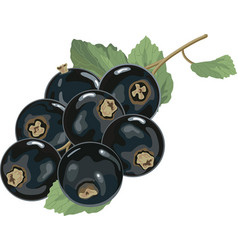 black currants with leaves vector image