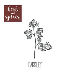 Parsley hand drawing herbs and spices vector
