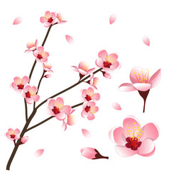 Prunus persica - peach flower blossom vector