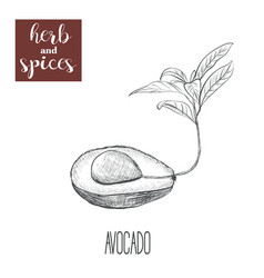 avocado hand drawing herbs and spices vector image vector image
