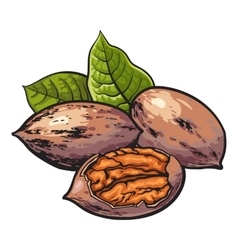 Whole and half shelled walnuts with green leaves vector image