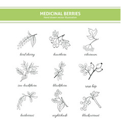 medicinal berry collection vector image