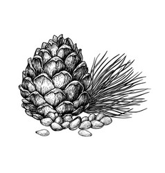 pine nuts and cones hand drawn sketches vector image