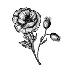 poppy flowers hand drawn sketches vector image