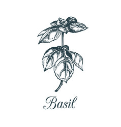 Basil branch hand drawn vector
