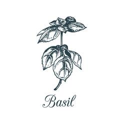 Basil branch hand drawn vector
