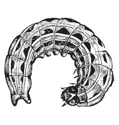 Owlet moth larva vintage vector