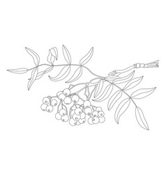rowan branch vector image