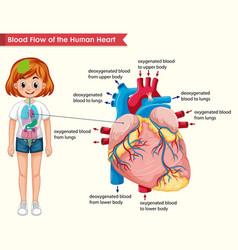 Scientific medical human heart bloodflow vector