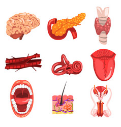 Human internal organs sett brain thyroid ear vector