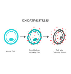 oxidative stress diagram vector image