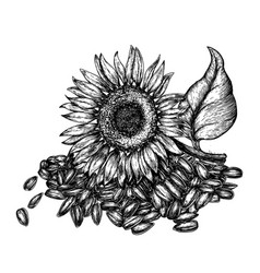 sunflower and seeds vintage engraved vector image