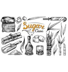 cane sugar with leaves set sugarcane plants vector image