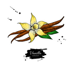 vanilla flower and bean stick drawing hand vector image