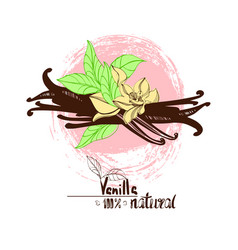 Vanilla spice for use in cooking vector