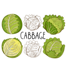 Cabbage isolated on white background vector