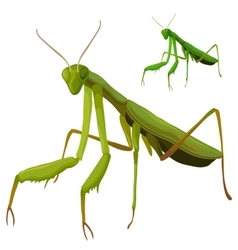 Green mantis closeup on white background vector