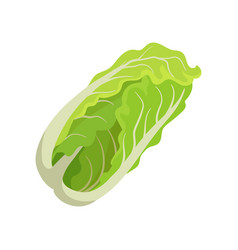 fresh chinese cabbage healthy food organic vector image