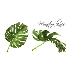 Monstera realistic vector