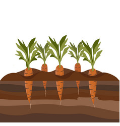 carrots in the garden bed vector image