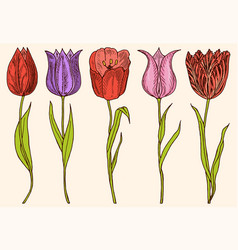 flowers tulips with leaves set wedding vector image