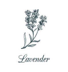 Lavender branch hand drawn vector