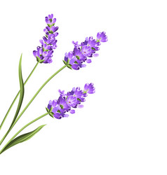 Lavender flowers in closeup vector