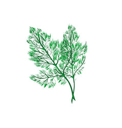 fresh dill fennel leaf isolated on white vector image
