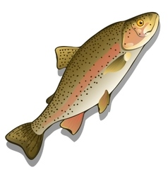 Trout closeup on a white background fish vector image vector image