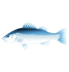 Sea bass fish vector