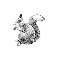 hand drawn squirrel vector image