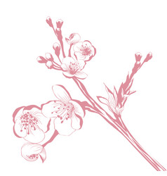 cherry blossom branch vector image vector image