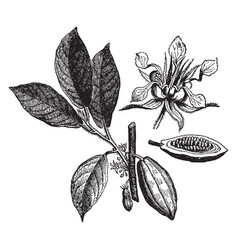 Cacao vintage vector
