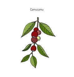 Camu-camu medicinal plant vector