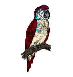 parrot macaw bird engraving vector image