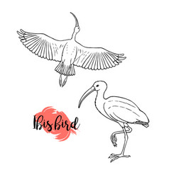 hand drawn ibis linear style line drawing vector image
