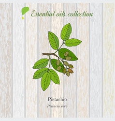 Pure essential oil collection pistachio wooden vector
