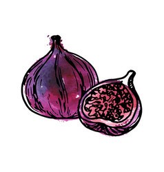 ink drawing fig vector image