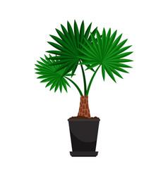 washingtonia house plant in flower pot vector image